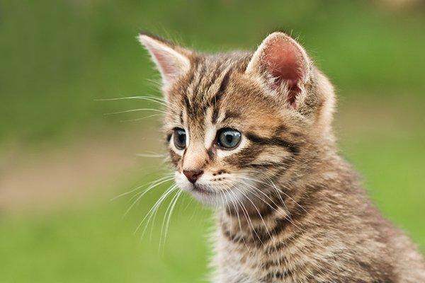 Kitten Vaccination Guidelines - Keokuk Veterinary Hospital